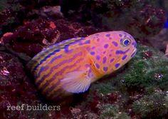 The 5 hottest reef aquarium fish of 2012 Marquee Reef Builders | The Reef and Marine Aquarium Blog