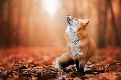 this should be Freya the fox <3