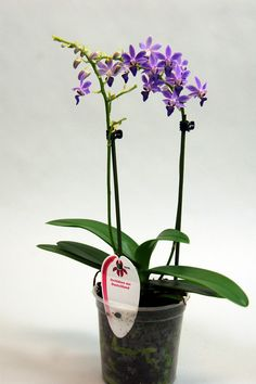 Orkidéer : Doritaenopsis Purple Gem 'Aida' (1 stängel)