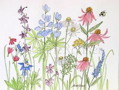 A nature watercolor illustration of wildflowers in a garden in shades of pink blue and purple make up this happy painting. You will find columbine, monkshood, coneflower and false indigo to name a few of the flowers in this original artwork by Laurie Rohner.