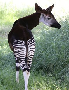 Okapi - A relative of the giraffe  |Bioluminescence| |nature| #Bioluminescence #nature https://biopop.com/