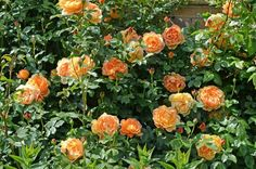 David Austin Rose 'Lady of Shalott'