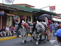 Tradition abounds in Atenas with it's annual downtown Oxcart Parade