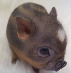 Miniature Pet Pigs – Why Are They Such Popular Pets? – Pets and Animals Cute Baby Pigs, Cute Piglets, Baby Animals Super Cute, Cute Little Animals, Cute Funny Animals, Baby Piglets, Tiny Baby Animals, Newborn Animals, Funny Cats