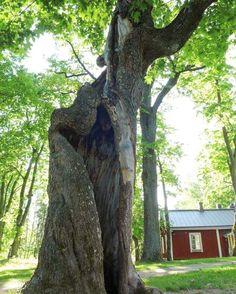 Eiliseen puunkaatoaiheeseen jatkoa! Tämä jättimäinen vaahtera seisoo Helsingin pitäjän pappilan pihamaalla. Sen kaatamiselle ei ole syytä niin kauan kuin runko on elävä ja hyvässä kunnossa näkyvästä vanhasta vauriosta huolimatta. Korkeat vanhat puut kuuluvat vanhojen rakennusten lähimaastoon ja pihoille ja ne ovat merkittävä osa miljöötä. Uudisrakennusten pihamailla nököttävät tuijarivit eivät oikein vedä vertoja tammikujanteille ja kotikuusille joita vanhojen rakennusten ympäristöistä voi…