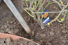 ガーデニング初心者さん必見! 初めての本格的な「バラの花壇」づくり[完全保存版] | GardenStory (ガーデンストーリー) Green Flowers, Garden, Garten, Lawn And Garden, Gardens, Gardening, Outdoor, Yard, Tuin