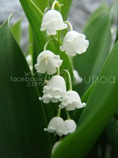 muguet / Lily of the Valley Most Beautiful Flowers, My Flower, Pretty Flowers, Beautiful Gardens, White Flowers, Birth Flower, Simply Beautiful, White Gardens, My Secret Garden