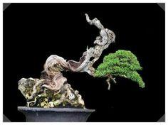 [분재수형]蟠幹 樹形 /반간,서린나무수형 : 네이버 블로그