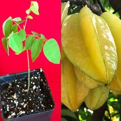 Star Fruit Averrhoa Carambola Bell Seedling Potted Starfruit Plant Tree | eBay