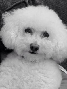 WHAT A CUTE FACE OF THIS BICHON