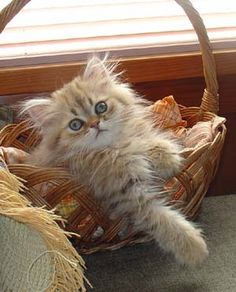 Persian Kitten ~ Mythicbells Persian Cats & Kittens