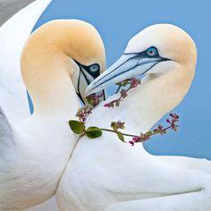 Basstölpel zeichnen sich durch liebevolle Hingabe zum Partner aus, dem sie oft ein Geschenk mitbringen, etwa eine Halskette aus wilden Nelken. Die eleganten Tauchfischer sind einander ein Leben lang treu – wie auch ihren Brutplätzen an den Küsten Europas und Nordamerikas – Diese Karte hier online kaufen: http://bkurl.de/pkshop-212091 Art.-Nr.: 212091 Wahre Liebe | Foto: © Steve Race/yorkshirecoastnature.co.uk | Text: Rolf Bökemeier