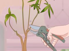 How to Prune a Money Tree: 12 Steps (with Pictures) - wikiHow Plant Therapy, Money Tree Plant Care, Pachira Money Tree, Pachira Aquatica, Snake Plant Care, Bonsai Tree Care, Growing Peonies, Air Plants Care, Tree Pruning