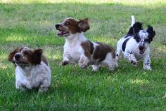 Running puppies -- Stanley and his brothers...
