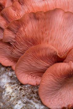 I just love this color. Pink Oyster Mushrooms (Pleurotus ostreatus)