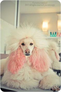 standard poodle #pinkpoodle