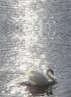 Swan / Swans - white-on-white  -  IMG_7933-v-900