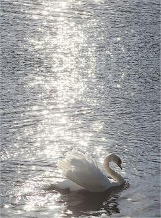 glittering swan