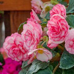 Go-Go Rose Bicolor Tuberous Begonia