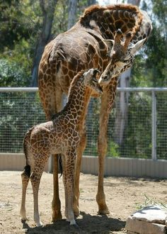 Mom and baby at San Diego Zoo, California