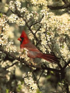 Virginia State Bird Coloring Pages | Northern Cardinal #homeschool #Virginia