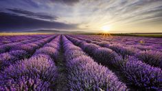 Photo about Sunrise over blooming fields of lavender on the Valensole plateau in the Provence in southern France. Image of landscape, diminishing, morning - 67953401 Lavender Fields, Lavender Flowers, Lavender Oil, Flowers Nature, Provence Lavender, Blue Flowers, Valensole, Stretched Canvas Prints, Land Scape