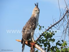 Eagle-eyed - A Crested Hawk-eagle scanning the area.