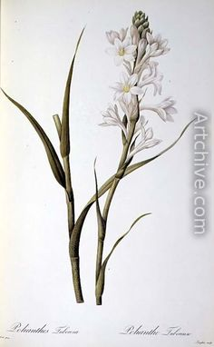 Polianthes Tuberosa, from Les Liliacees, 1806 - Pierre-Joseph Redoute
