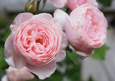 Gardening Presents Info: 3554792162 Garden Gates, Herb Garden, Home And Garden, David Austin Roses, English Roses, Beautiful Flowers, Herbs, Wallpaper, Spring