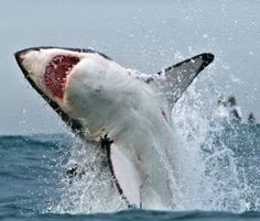Amazing white sharks! Join us o a Perfect Predator Expedition! http://www.sharkexplorers.com/the-dives/perfect-predator-expedition/