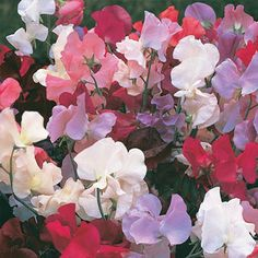 Everlasting Sweet Pea - 4-6' long, blooms summer - fall, full sun/partial shade...Sweet red, pink and white blooms cover this climbing vine all summer. Let it scramble over fences, trellises or arbors, or grow it horizontally to create an unusual ground cover. Grows fast