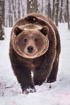 Bear walking in snow