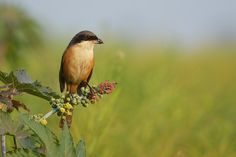 Grey Backed Shrike by arindom bora on 500px