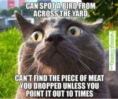 Fun fact: cats are far sighted. They can see far away no problem but basically anything within 6 inches is just blurry. #catmemes