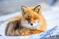 Red Fox by Franciscus Scheelings on 500px