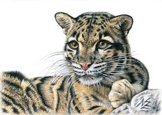 Clouded Leopard, drawing by Nicole Zeug, www.arts-and-cats.de