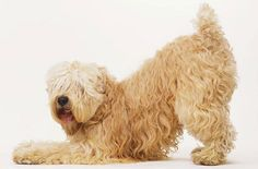 Check out the Best Soft Coated Wheaten Terrier Dog Names for your cute, funny, cool, male or female dog. Wheaten Terrier Puppy, Terrier Dog Breeds, Terriers, Terrier Puppies, I Love Dogs, Cute Dogs, Awesome Dogs, Irish Terrier, Companion Dog