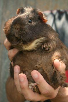 Fat guinea pig.