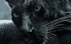 Close-up Animals Panthers Black Panther New Hd Wallpaper