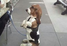 """Basset hound takes """"Sit"""" literally. Ginger used to sit like that :( Basset Puppies, Hound Puppies, Basset Hound Dog, Dogs And Puppies, Doggies, Beagles, Hounds Of Love, Bloodhound, Dog Love"""