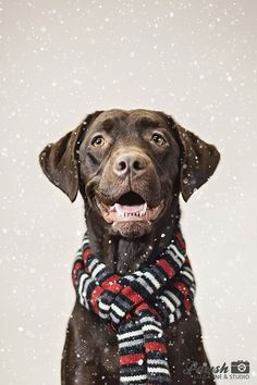 A pretty chocolate lab! Christmas dog photography!
