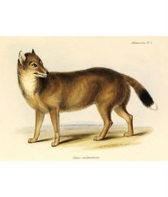The Falkland Island Wolf, a unique species that is the only native mammal from the Falkland Islands. It bears the unfortunate title of being the first known canid to have gone extinct in historical times. Settlers of the islands were threatened by the wolf since they believed it hunted their sheep, so they systematically set out to shoot and poison the animals on a massive scale. The wolf officially went extinct in 1876. Charles Darwin studied them in 1833 and predicted their extinction.