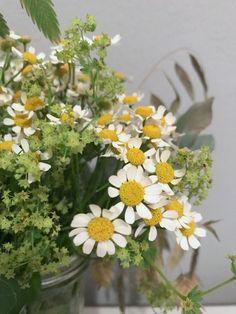 Kamillenblumen, verkannte Schönheit