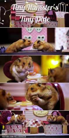 hamsters go on a tiny Valentine's Day date and eat tiny spaghetti and meatballs! Cuteness overloadTiny hamsters go on a tiny Valentine's Day date and eat tiny spaghetti and meatballs! Hamster Pics, Robo Hamster, Animals For Kids, Animals And Pets, Baby Animals, Cute Animals, Hamsters As Pets, Cute Hamsters, Rodents