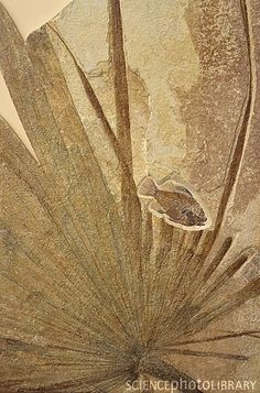 Fossilized palm frond with small fish Dinosaur Fossils, Extinct Animals, Prehistoric Creatures, Science And Nature, Earth Science, Fauna, Archaeology, Museum, Rock