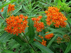 Orange Glory butterfly plant - another great butterfly attractant!
