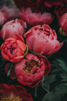 Fantastic Photos Peonies bloom de fleur Suggestions The peony is outrageously attractive in bloom from planting season in order to summer—using luxurious folia Nature Plants, Flowers Nature, Beautiful Flowers, Piones Flowers, Edible Flowers, Beautiful Things, Pot Pourri, Free Plants, Pink Peonies