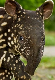 Malaysian tapir....one of the strangest-looking animals. Lol