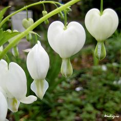 White Bleeding Heart Flower. Love these. We have several of the pink ones in the yard.