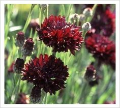 Cornflower 'Black Ball' Black Flowers, Cut Flowers, Biennial Plants, Sun Plants, Black Boys, Early Spring, Deep Purple, Perennials, Planting Flowers